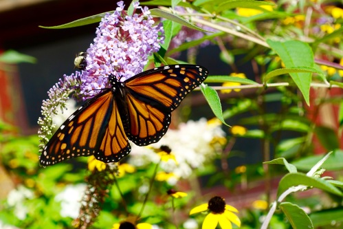 Monarch Butterfly+ 08.28.16 copy