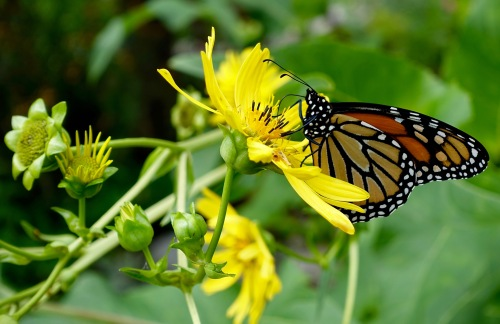 Monarch Butterfly+ .08.28.16 copy
