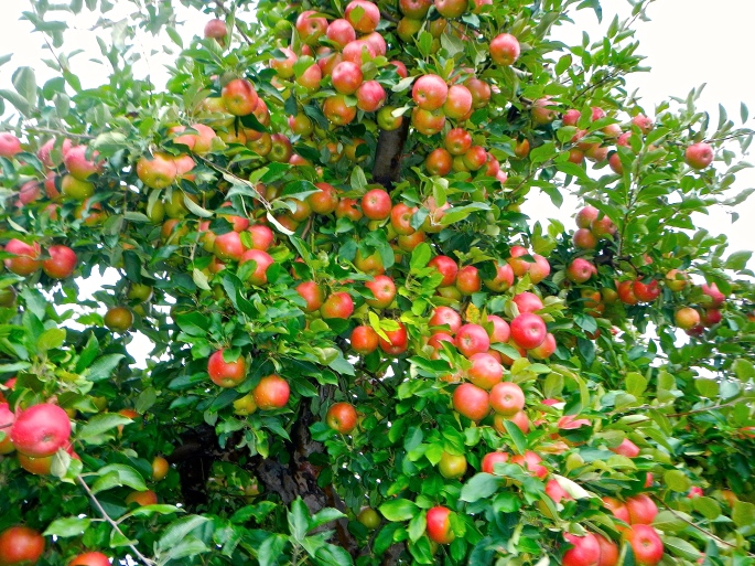 apple-tree-loaded-with-apples-in-fall