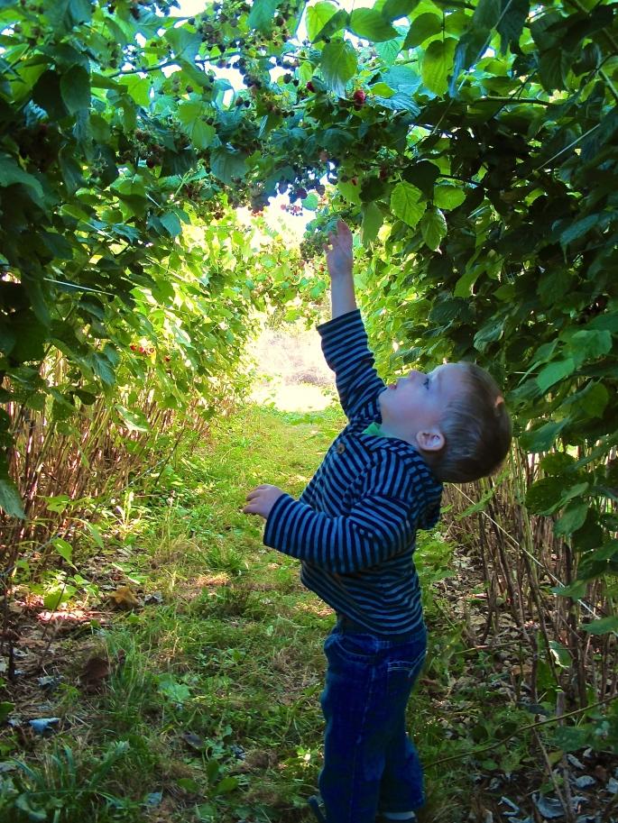 child-picking-raspberries