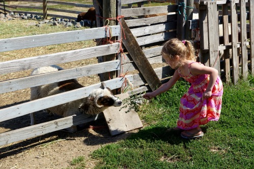 Little girl feeding sheep