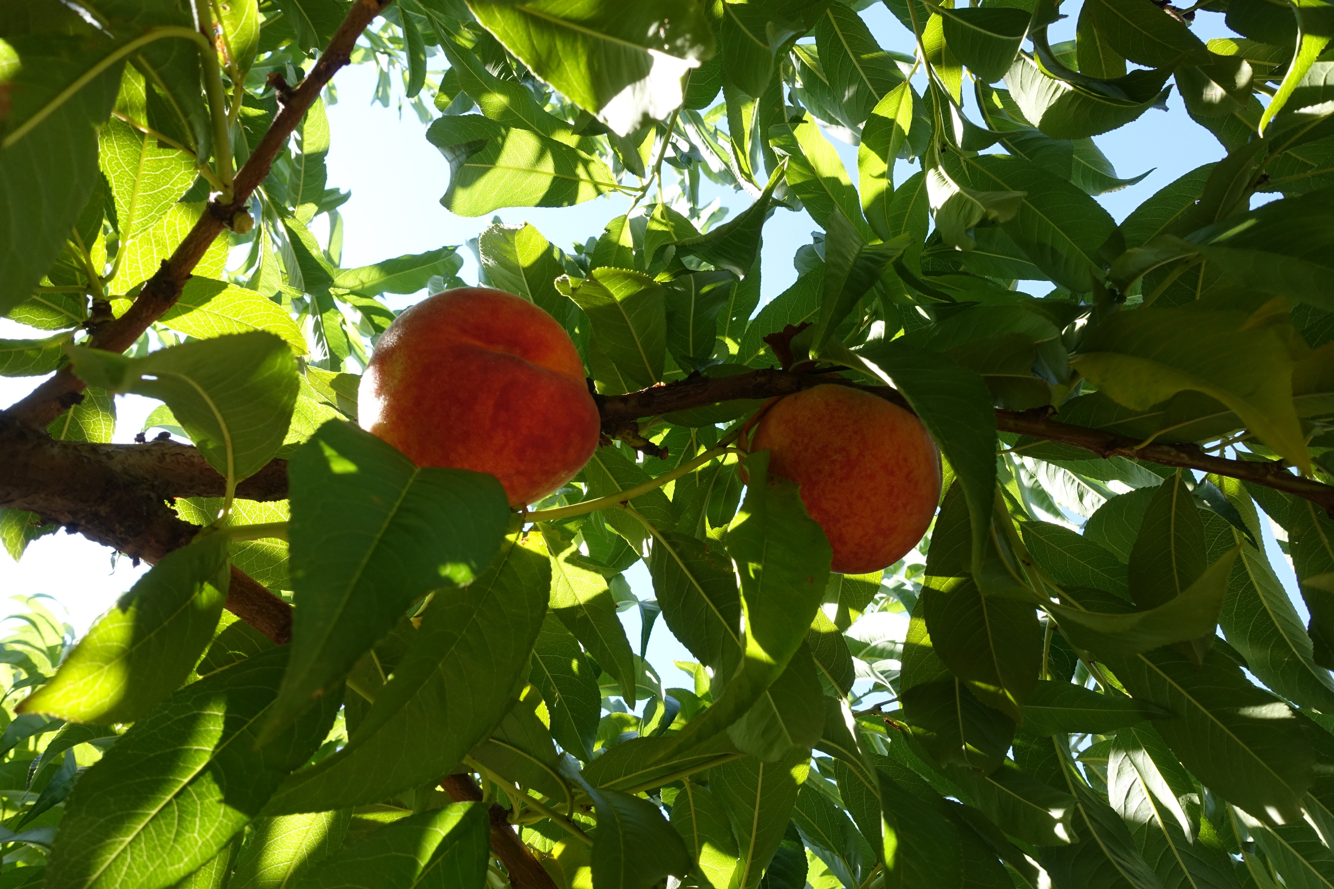 Peaches in sunshine
