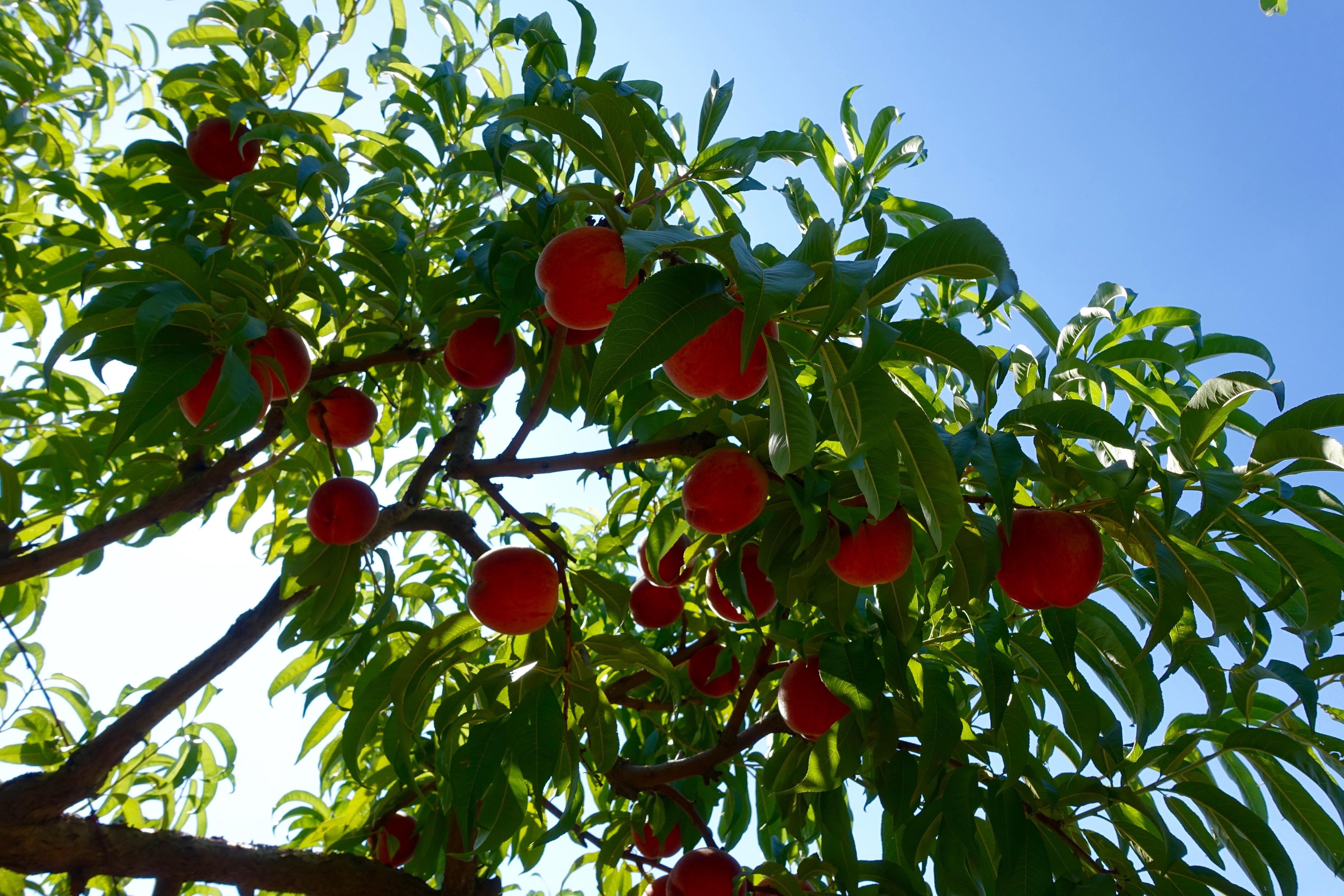 Peaches on peach tree