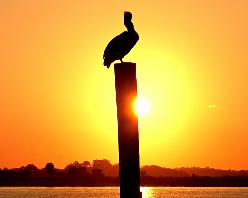 pelican-in-sunset-at-ponce-inlet-florida