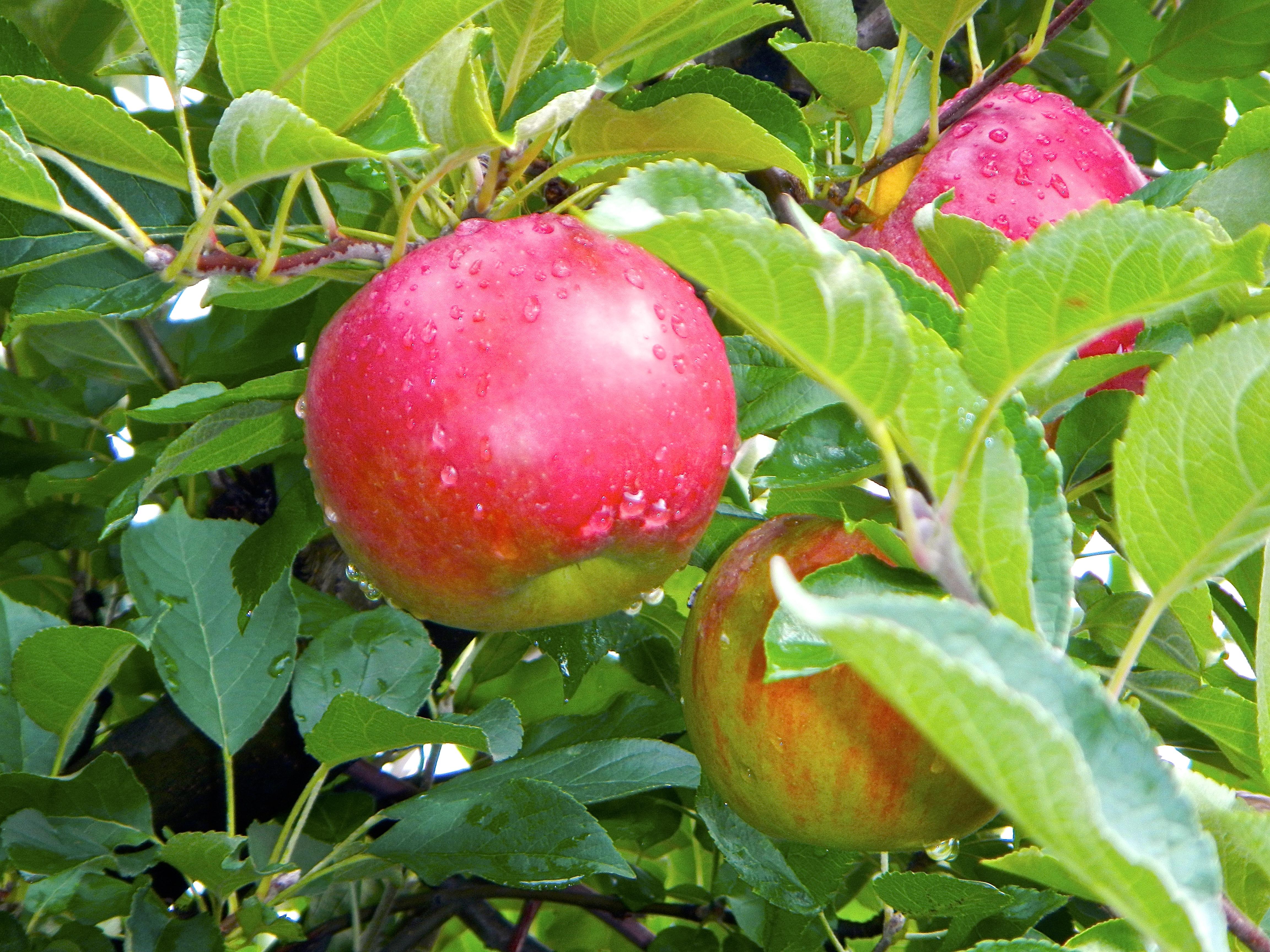 ripe-apples-on-tree-after-rain