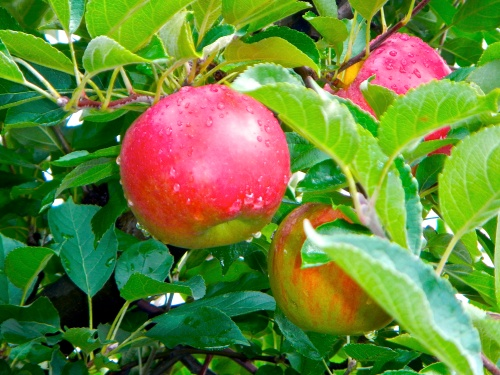 ripe-apples-on-tree-after-rain