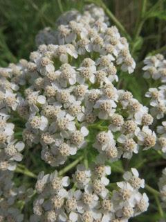 achillea-millefolium-white-yarrow-charylene-powers