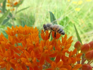 asclepias-tuberosa-butterfly-weed-by-charylene-powers