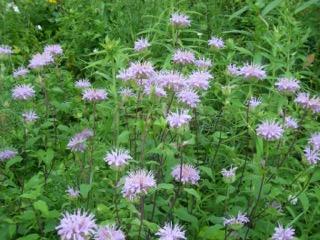 bergamot-field-charylene-powers