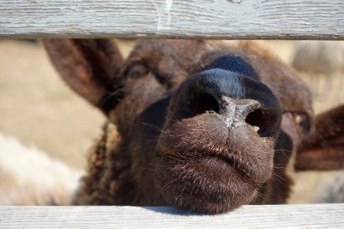 discontented-black-sheep