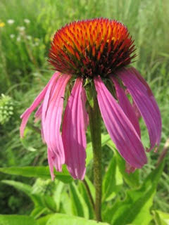 echinacea-purple-coneflower-by-charylene-powers