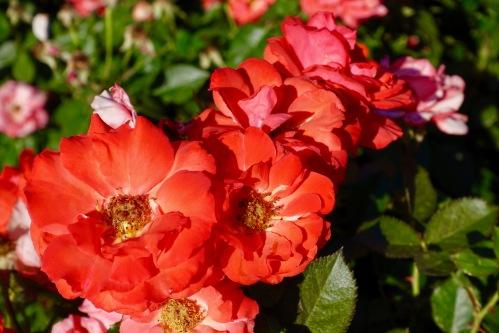 orange-rose-manito-park-8-1-16