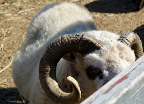 ram-close-to-fence