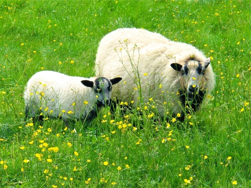 sheep-in-meadow-cotwolds-england
