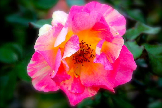 variegated-rose-copy