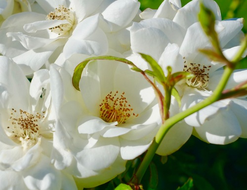 white-rose-cluster-manito-park-8-1-16