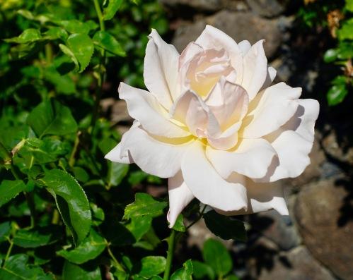 white-rose-manito-park-8-1-16