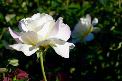 white-rose-single-manito-park-8-1-16