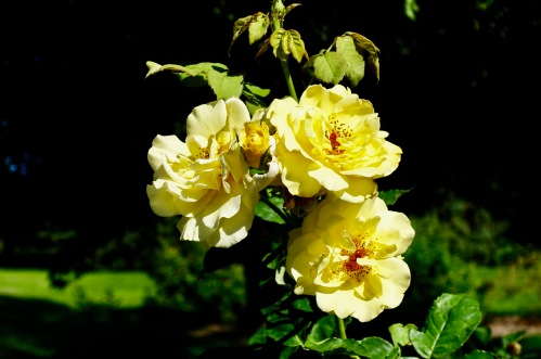 yellow-rose-manito-park-8-1-16-3