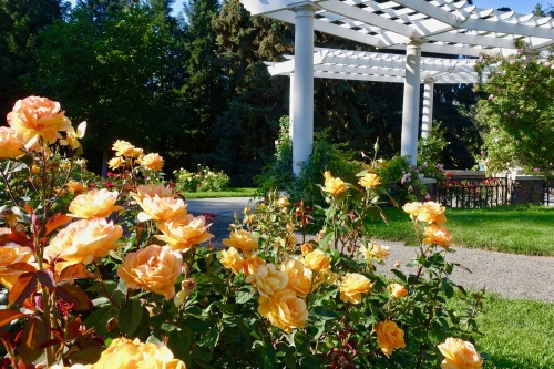 yellow-rose-manito-park-8-1-16-7
