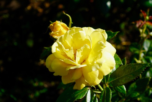 yellow-rose-manito-park-8-1-16