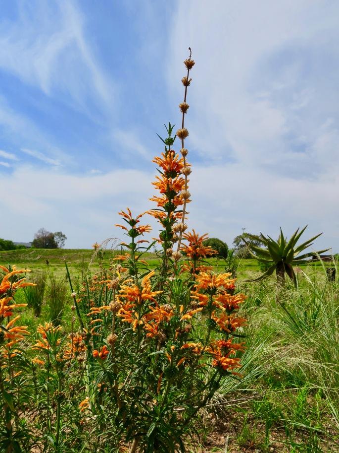 african-orange-flower