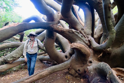 ancient-tree-in-kirstenbosch-national-botanical-garden-sa