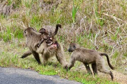 baboons-traveling-along-road-in-cape-of-good-hope-nature-reserve