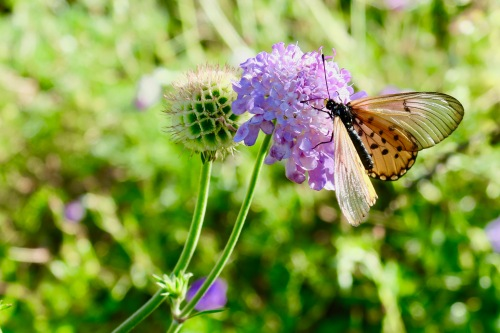 Butterfly on Scabiosa in Africa