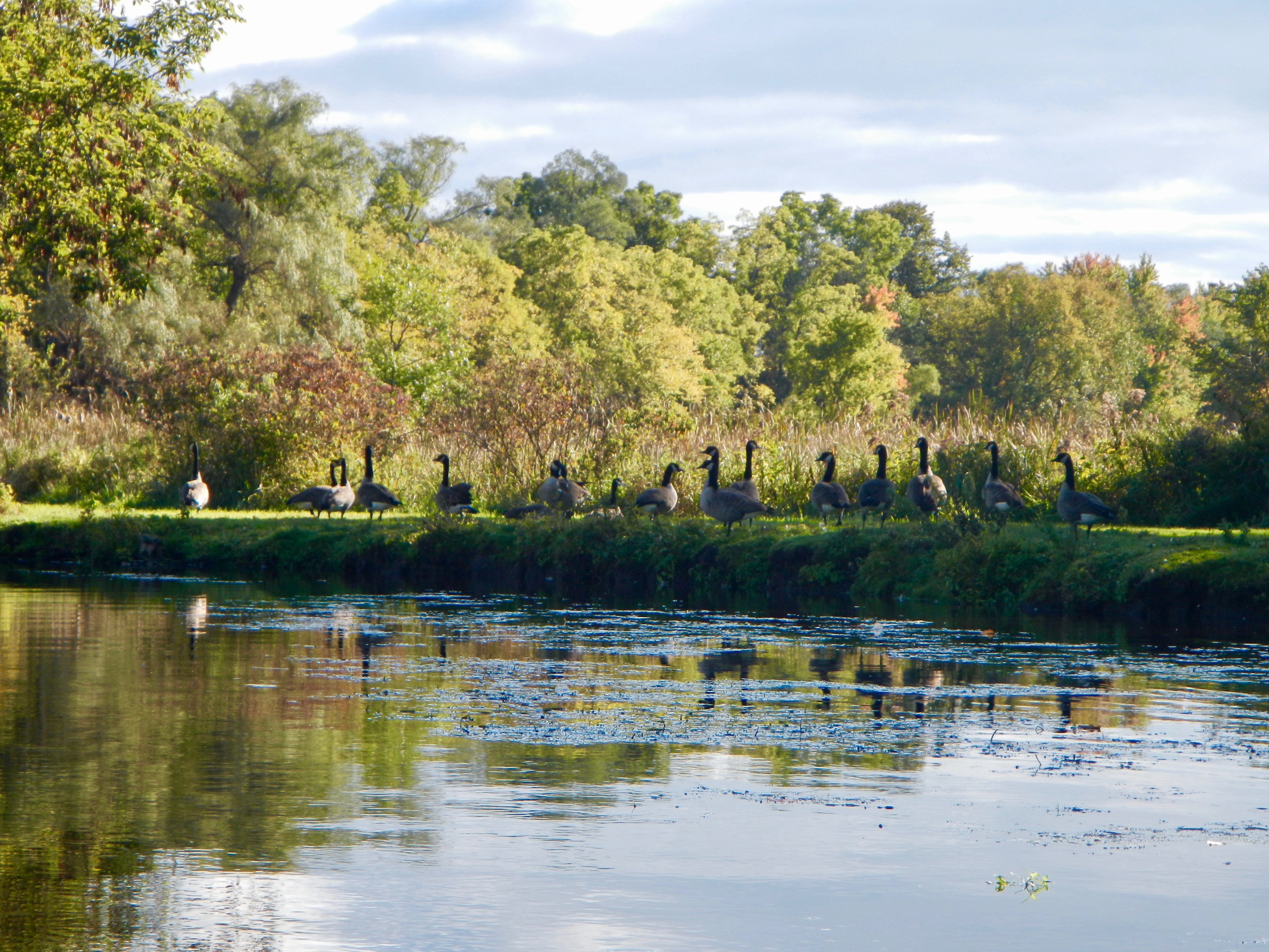 canada-geese-along-rogue-river