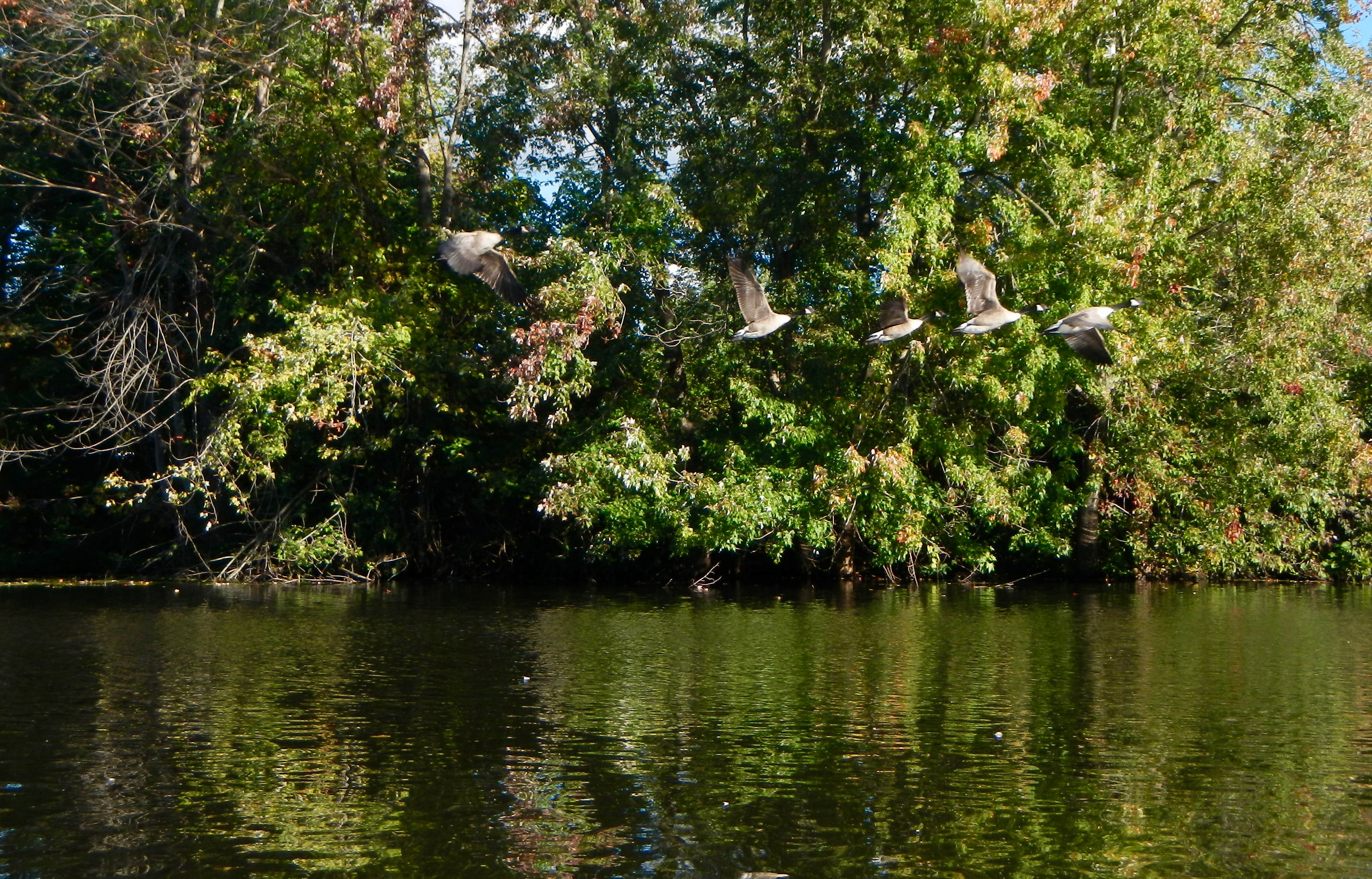 canada-geese-in-flight-on-rogue-river