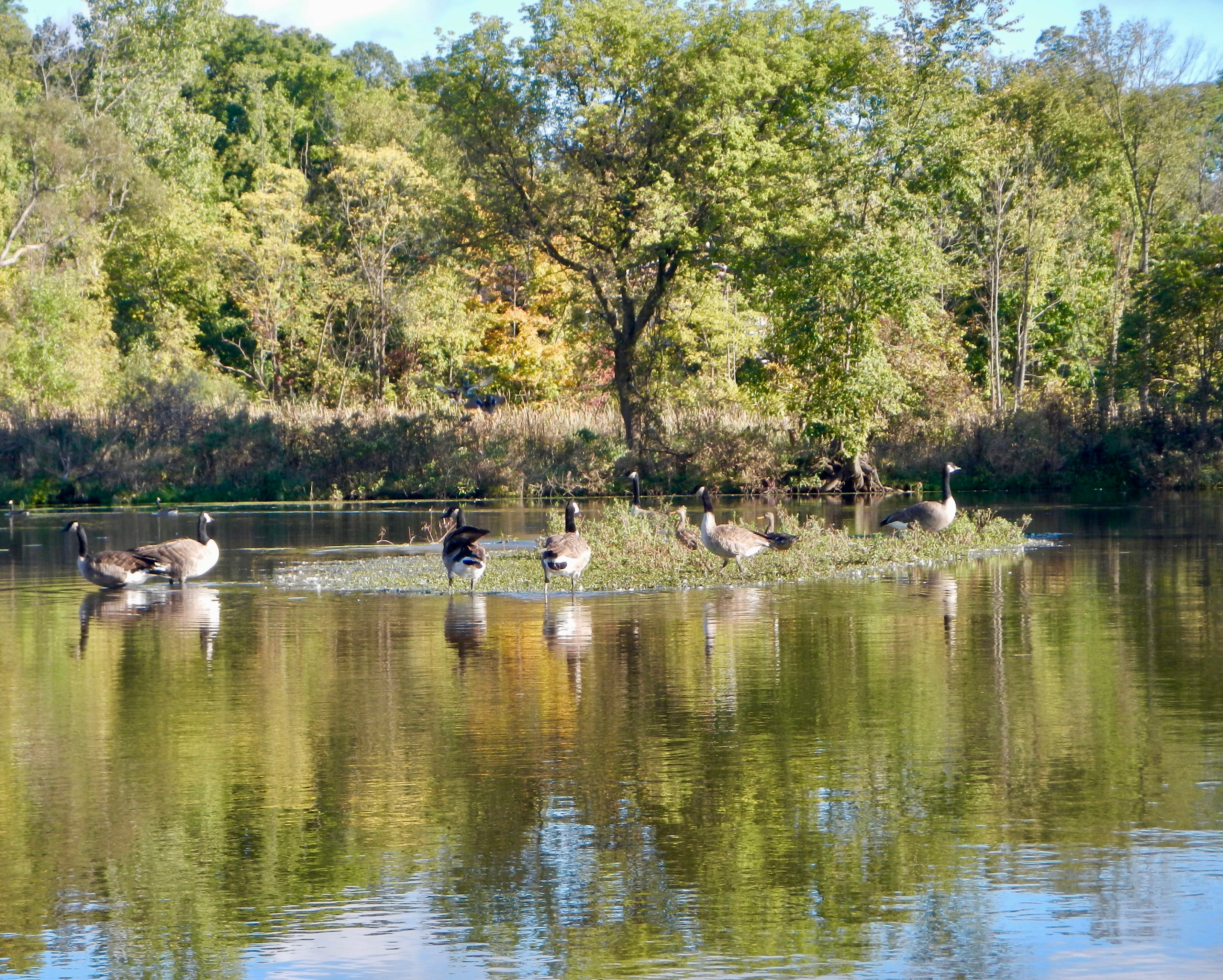 canada-goose-island-on-rogue-river