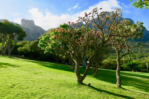 coral-tree-in-kirsetenbosch-national-botanical-garden-south-africa