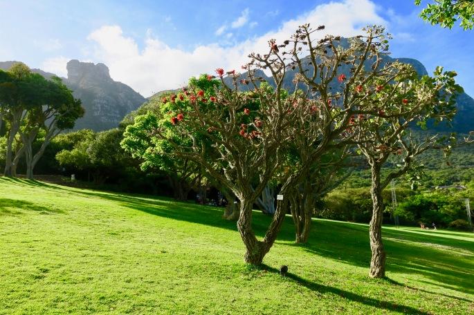 coral-tree-in-kirsetenbosch-national-botanical-garden-south-africa