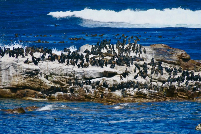 cormorants-and-seals-in-cape-of-good-hope-nature-reserve