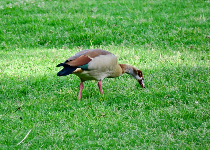egyptian-goose-in-kirstenbosch-national-botanical-garden-sa