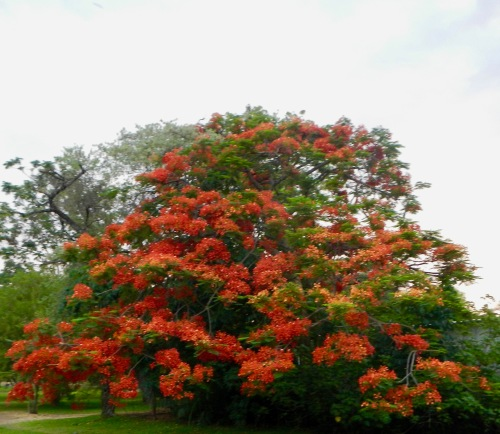 flamboyant-tree-south-africa