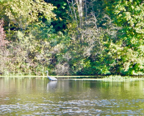 great-blue-heron-fishing-on-rogue-river