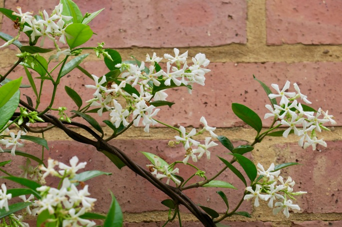 jasmine-cape-town-south-africa
