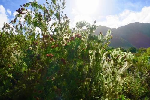 kirstenbosch-botanical-garden-flowers