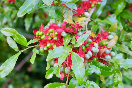 ochna-natalitia-birds-eye-bush-at-kirsetenbosch-national-botanical-garden-south-africa-jpg