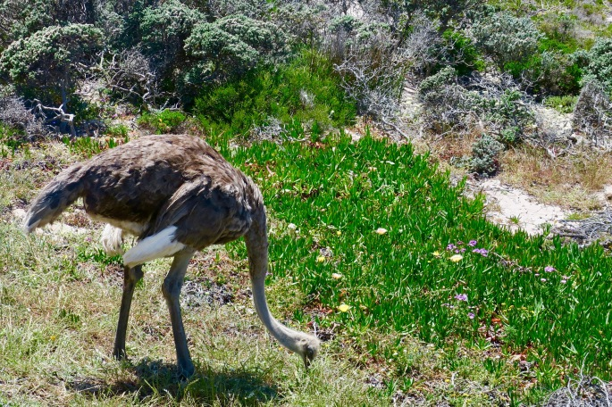 ostrich-in-cape-of-good-hope-nature-reserve