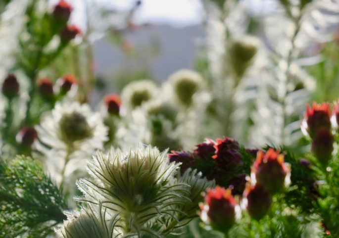 phylica-pubescens-featherhead-or-flannel-flower-bush-in-afternoon-sun-at-kirsetenbosch-national-botanical-garden-south-africa