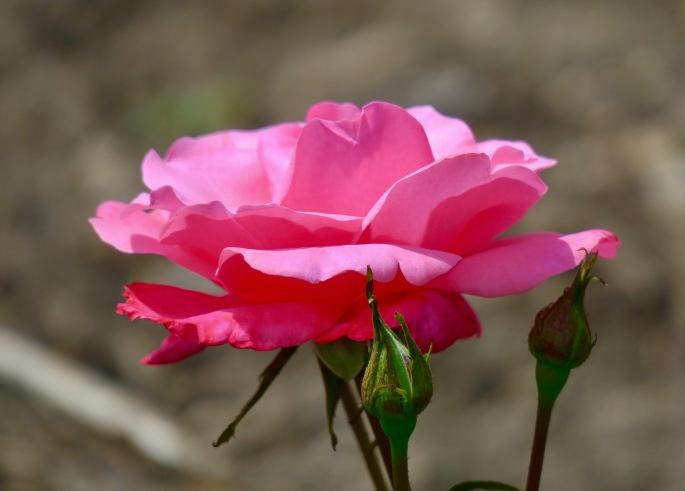pink-rose-africa