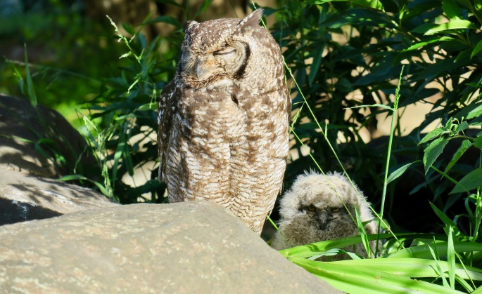 spotted-eagle-owl-and-chick-in-kirstenbosch-national-botanical-garden-sa