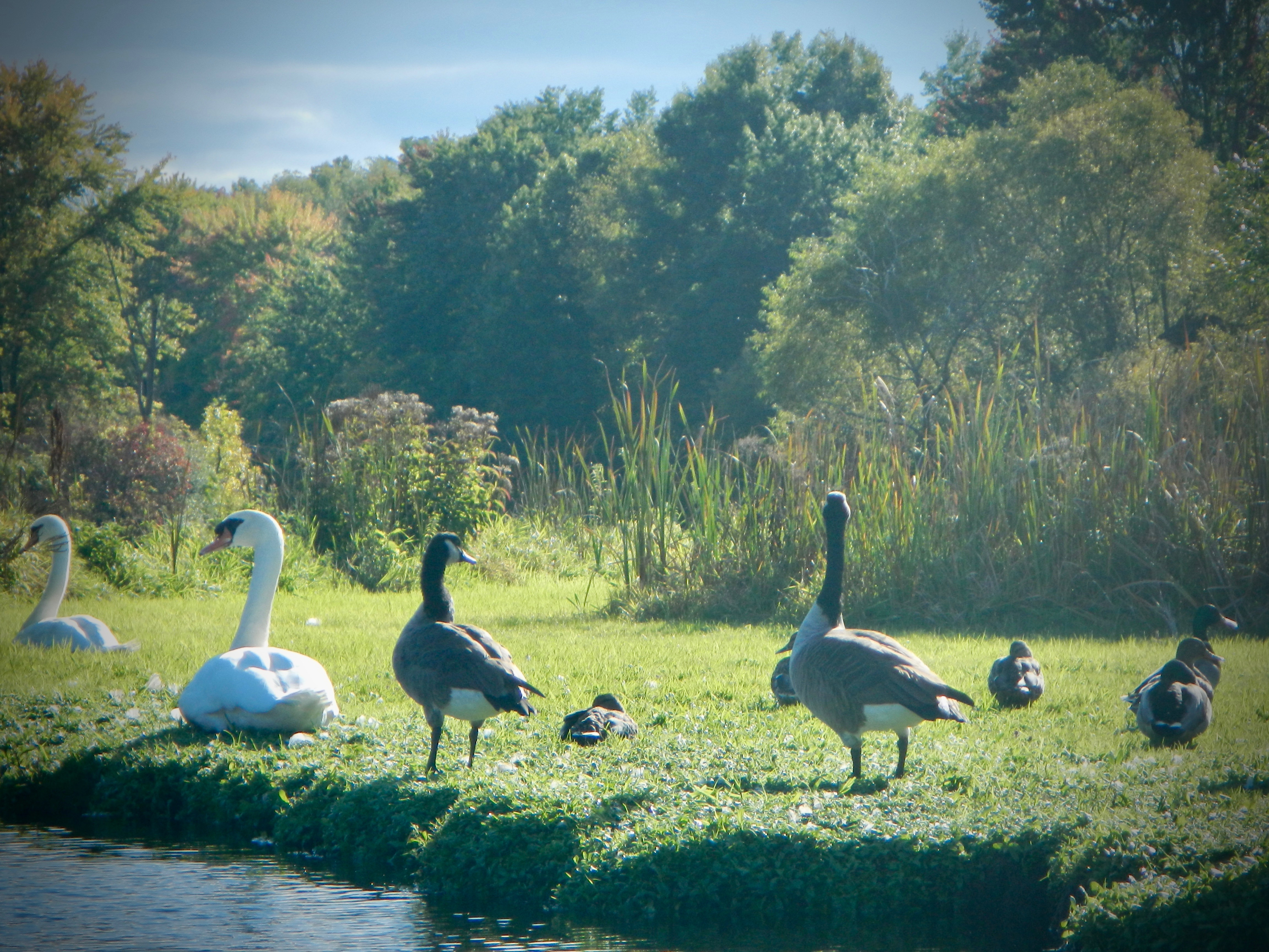 swans-geese-and-ducks-on-rogue-riverbank