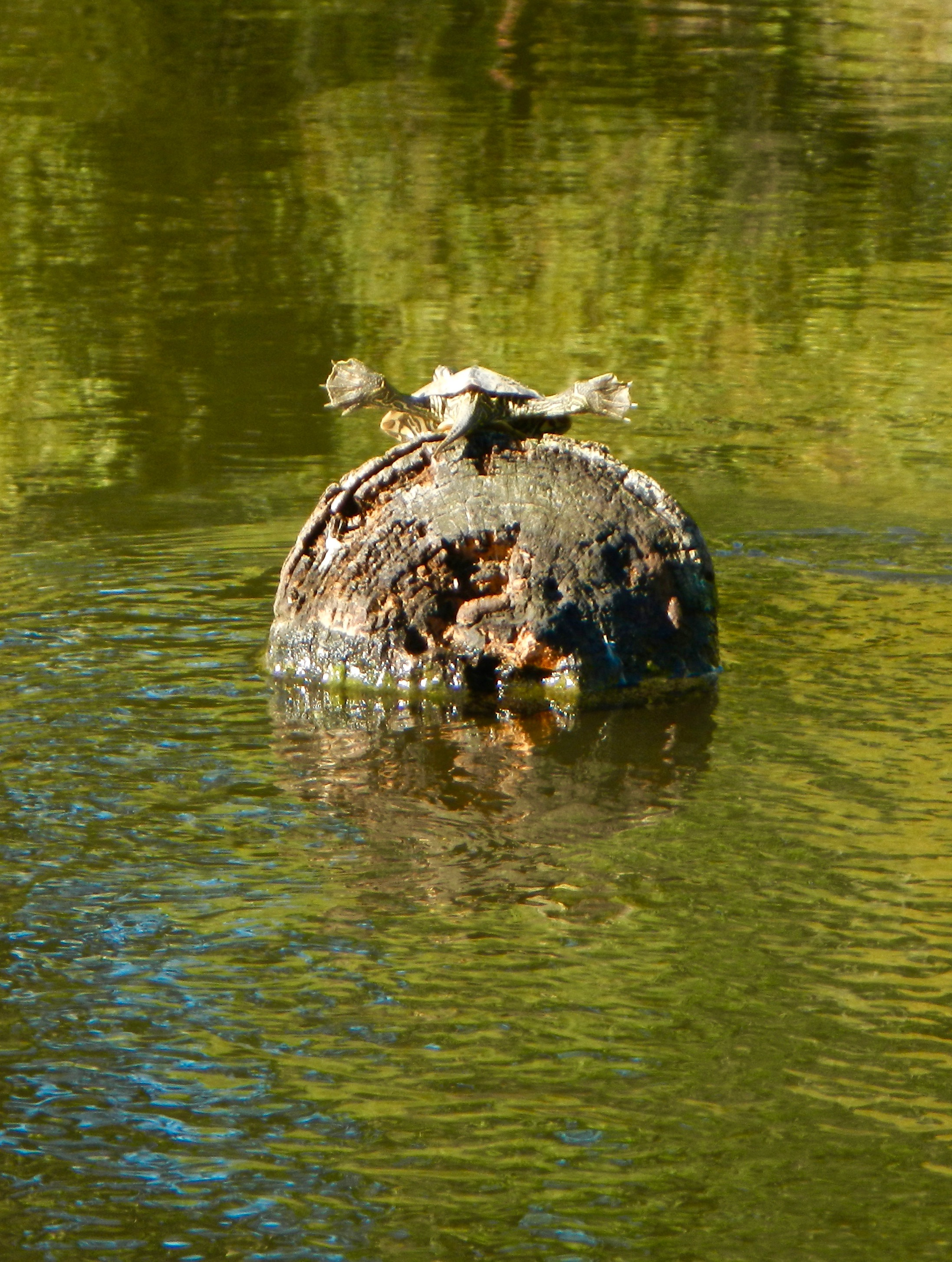 turtle-on-a-log-in-rogue-river