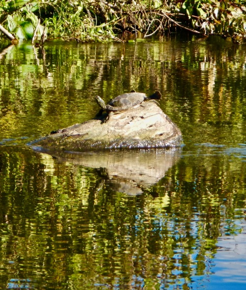 turtle-sunning-himself-on-rock-in-rogue-river