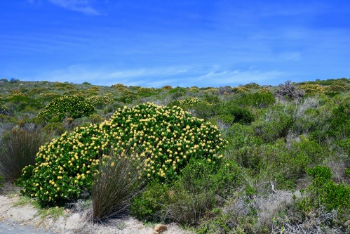 wildflowers-in-cape-of-good-hope-nature-reserve