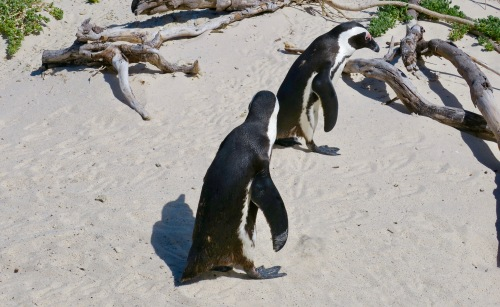 african-penguin-couple-at-boulders-south-africa